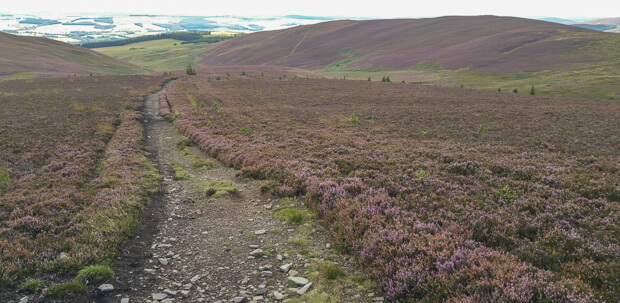 Southern Uplands purple heather on route to Three Brethren.